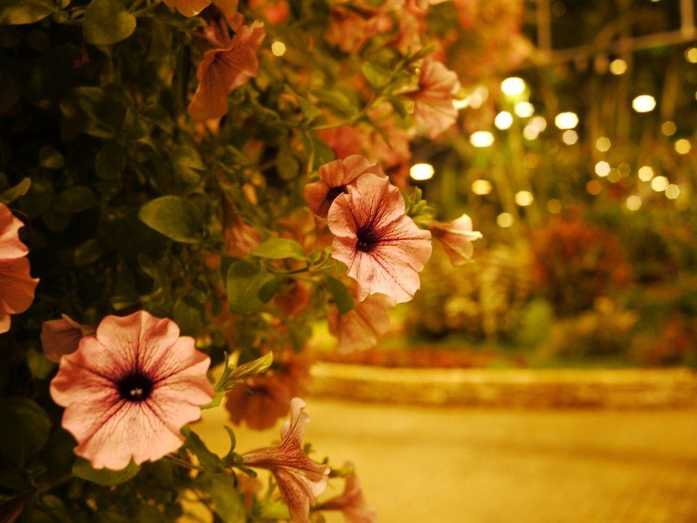 ベゴニア以外の花々も美しい
