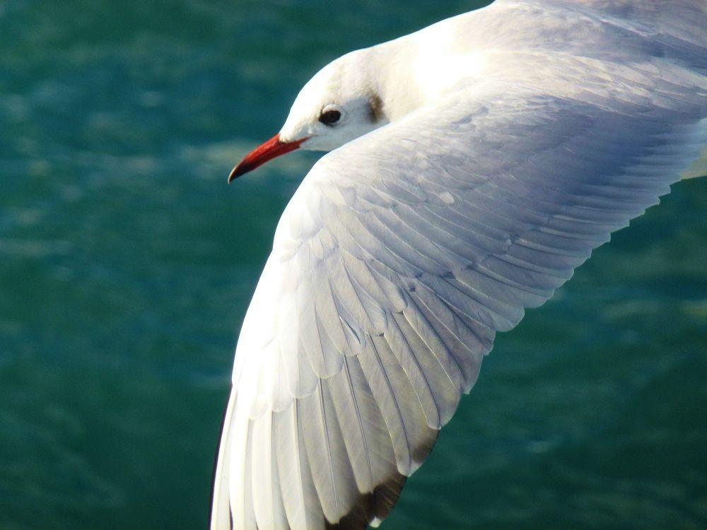 美しい冬鳥「ユリカモメ」