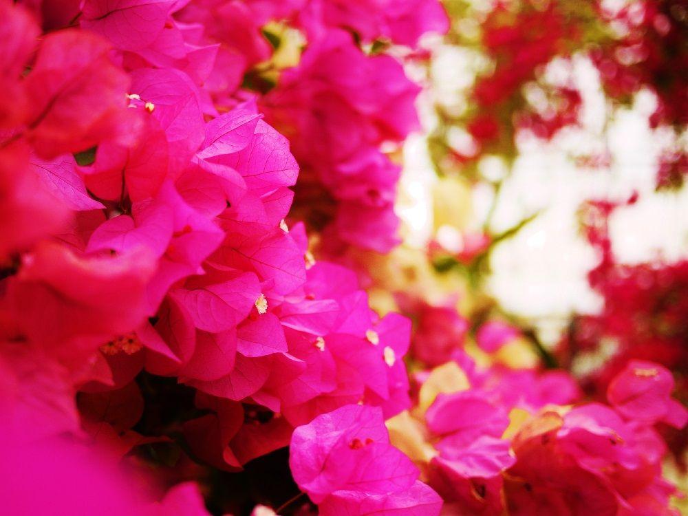 ブーゲンビレアのお花はどこに…?