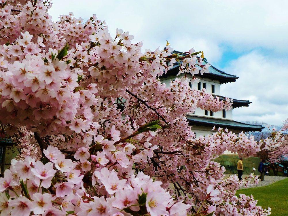 桜、花咲く「松前城」について