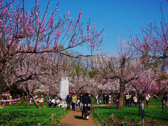 「北海道神宮」の境内に広がる美しい梅林