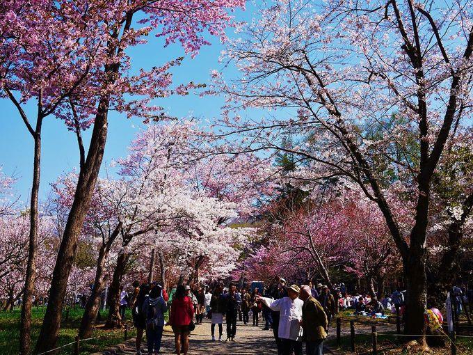 一面ピンク色の世界!梅と桜が同時に開花する北海道神宮の春