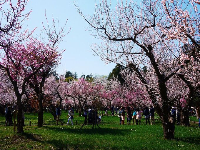 「北海道神宮梅林」は静かに梅を愛でることができます