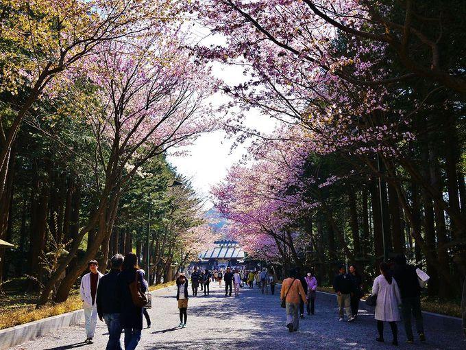 桜咲く表参道を通り抜け「北海道神宮」にお参りしましょう