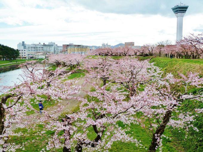 春は一面ピンクに染まる!桜咲き誇る「五稜郭公園」