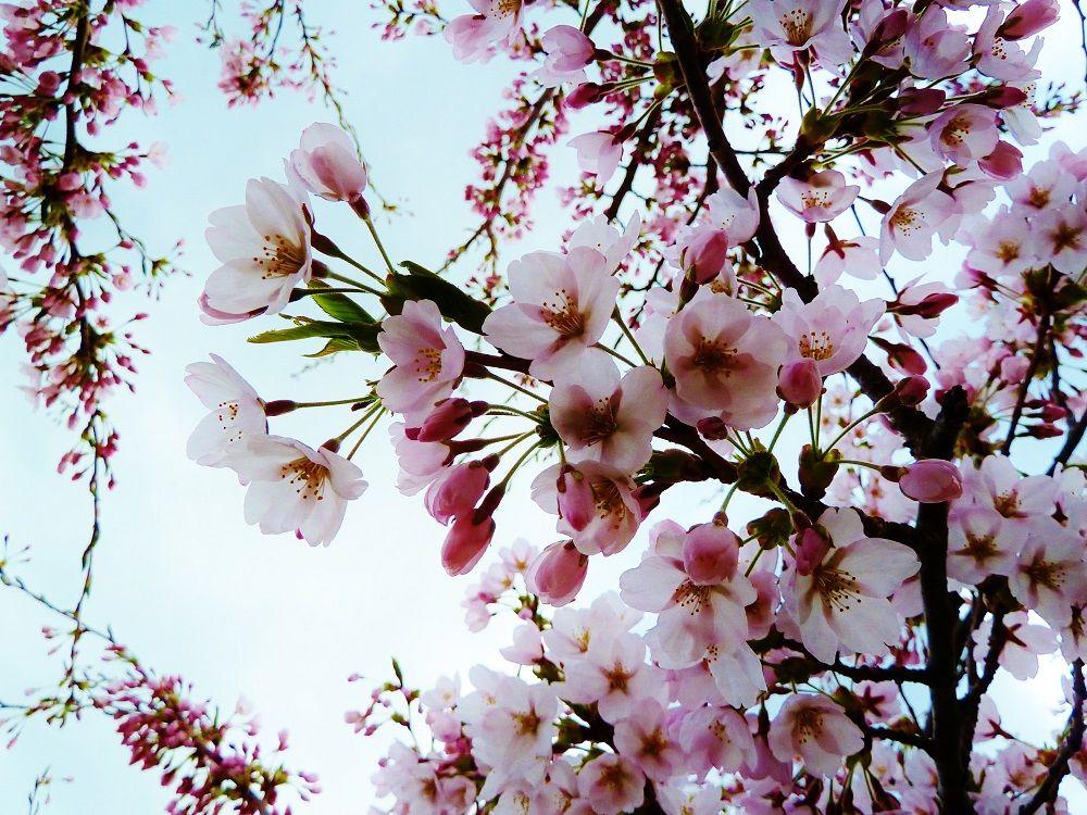 「五稜郭公園」を春色に染める桜の品種