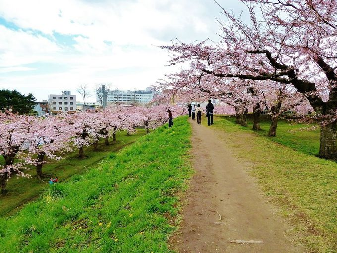 桜の花道を歩こう!