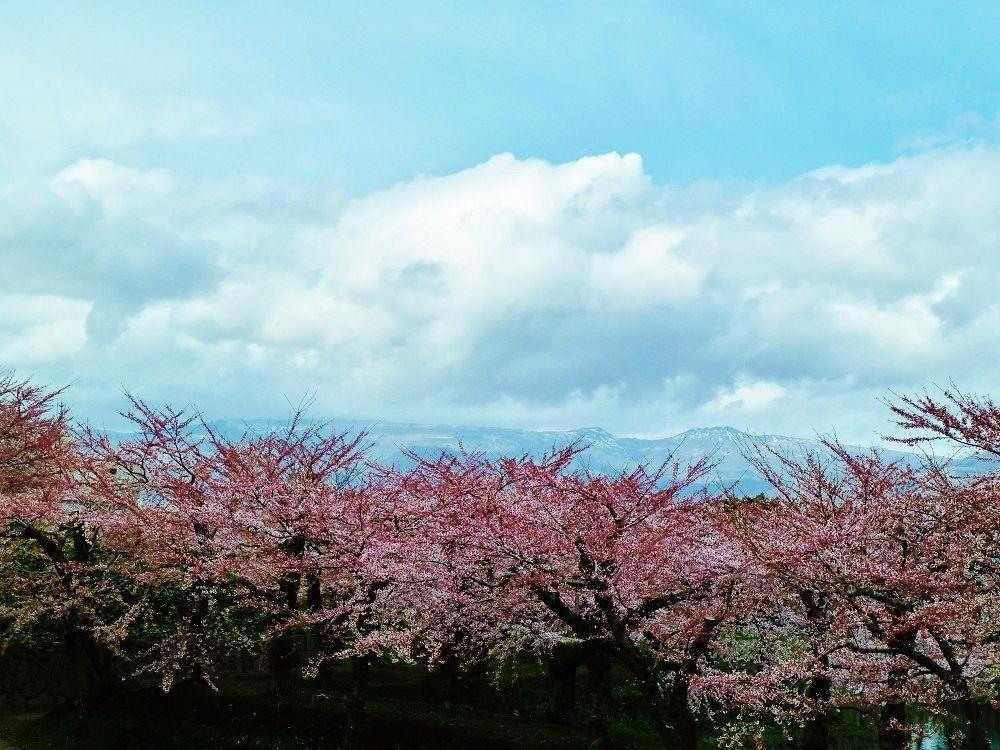 桜と残雪の横津連峰の共演も美しい!
