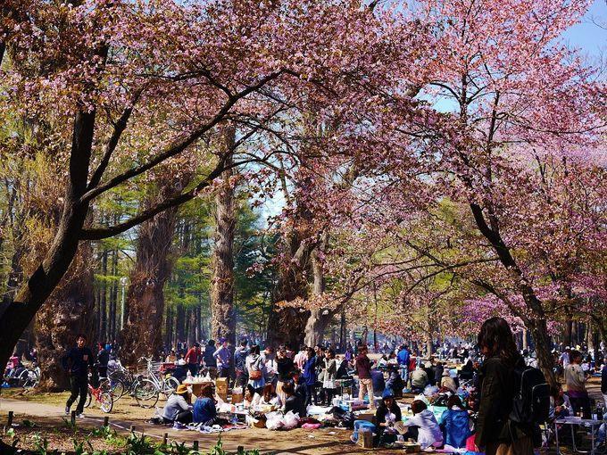 桜の季節の「円山公園」はお花見の札幌っ子で大賑わい!