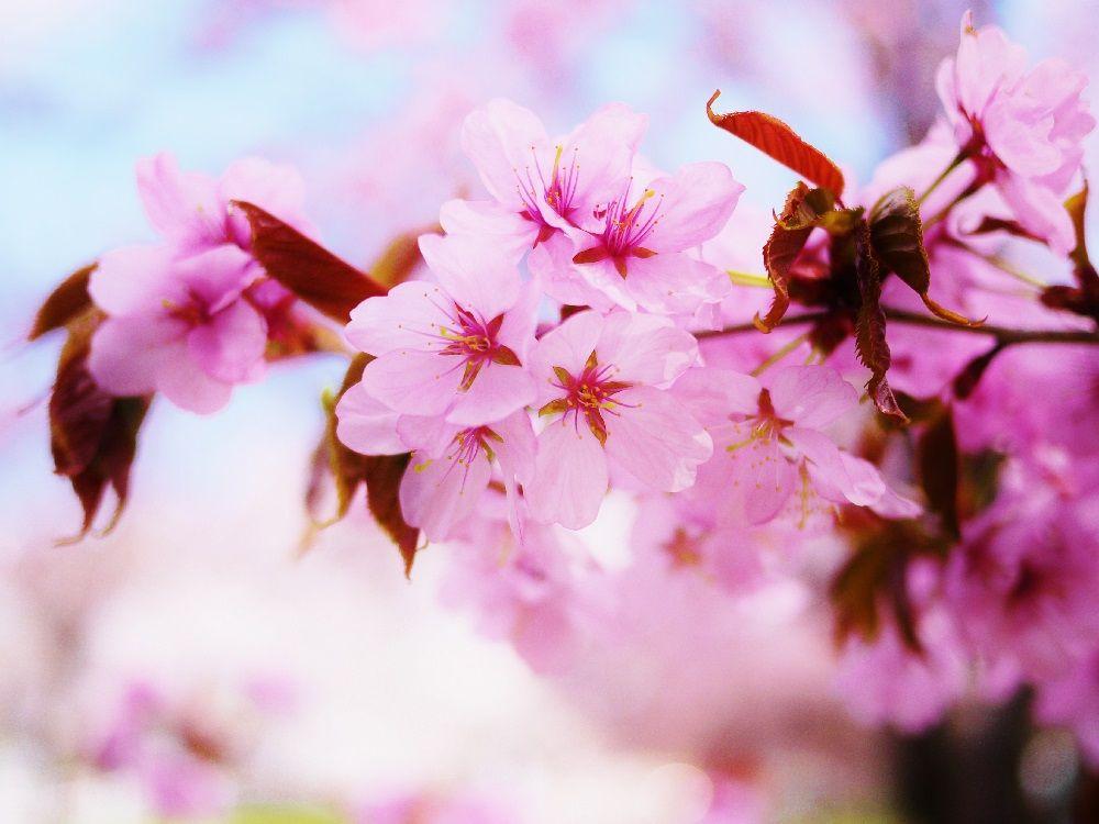 空を見上げたら蝦夷山桜(エゾヤマザクラ)