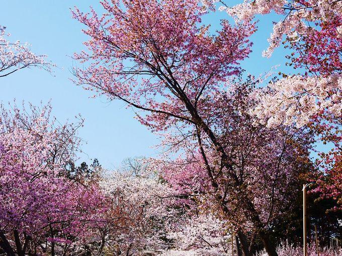 隣接する「北海道神宮」も美しい