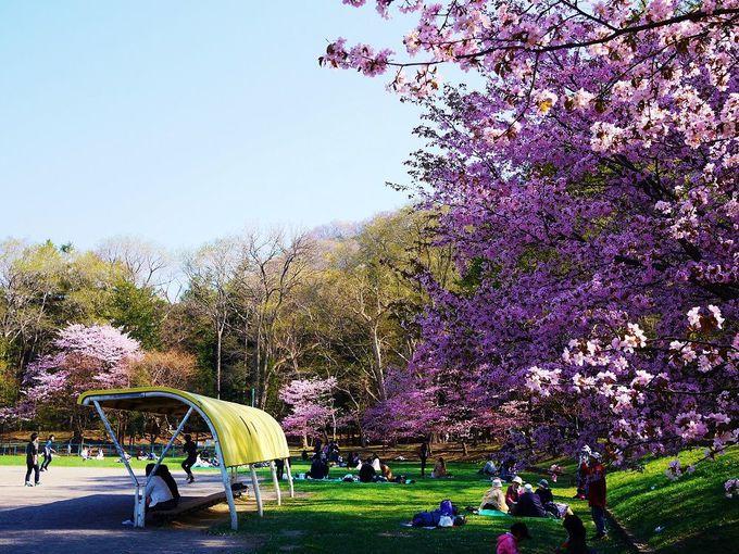 思い思いの時間を過ごす「円山公園」でのお花見