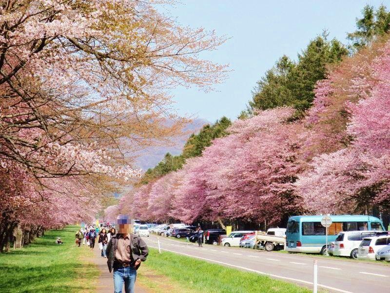 日本屈指のスケールの桜並木「静内二十間道路桜並木」