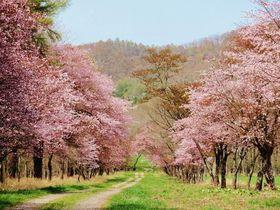 桜咲き誇る美しい並木道!北海道新ひだか町「静内二十間道路桜並木」
