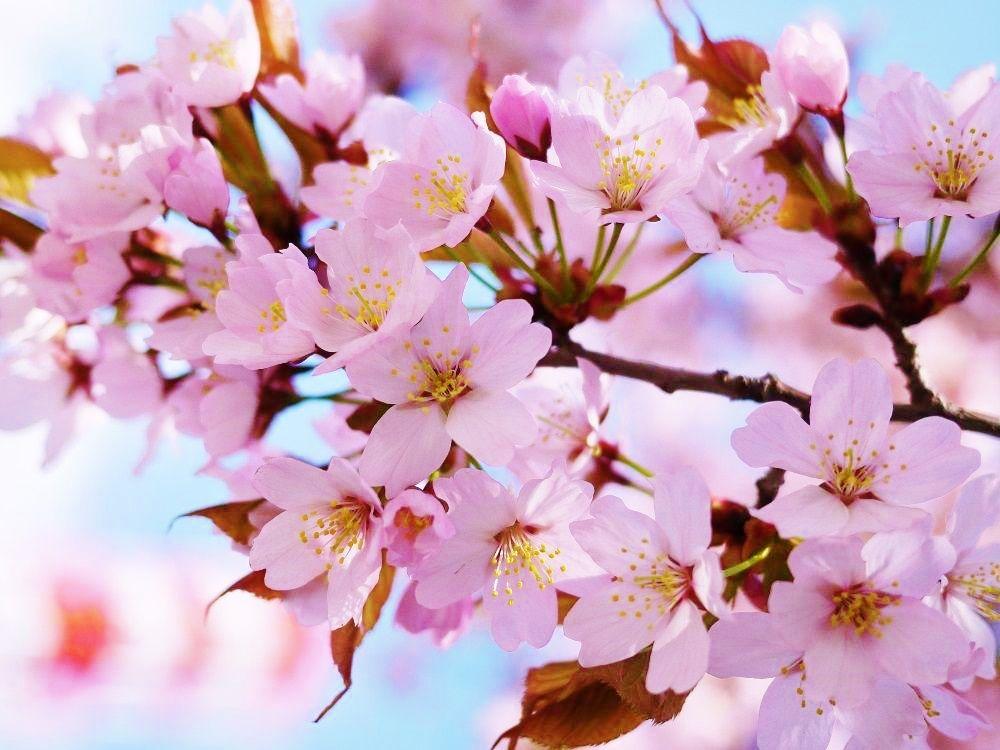 桜並木をピンクに染める「エゾヤマザクラ」