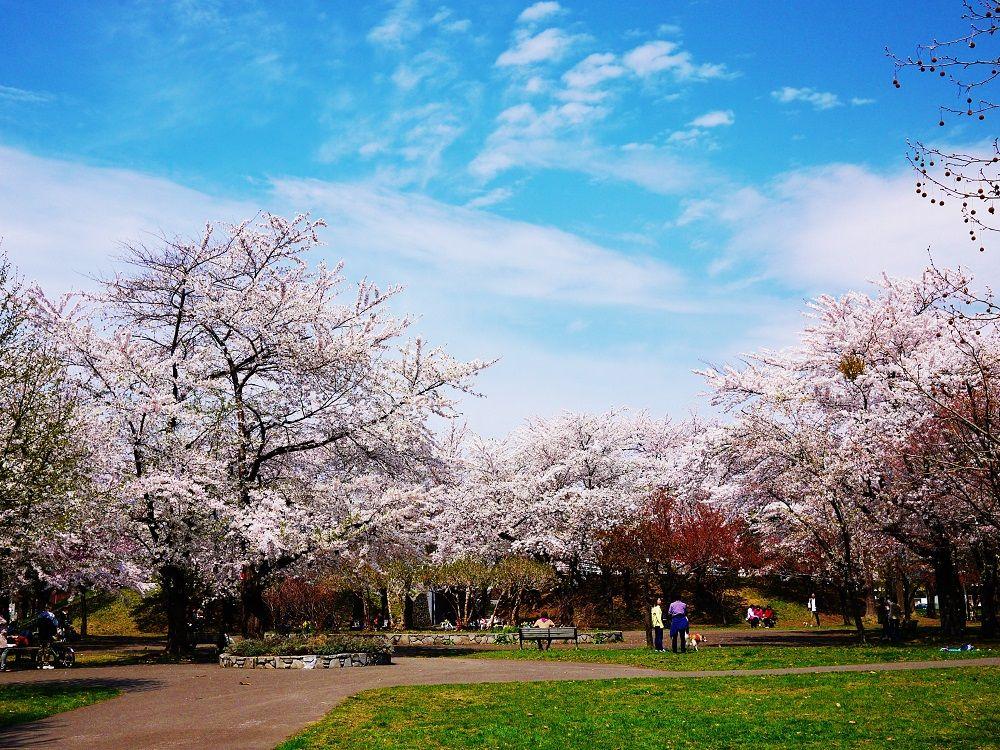 札幌市民に愛される桜の名所「農試公園」
