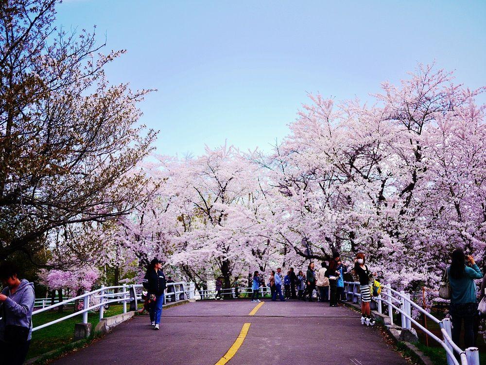 上から?下から?「農試公園」の桜鑑賞スタイル