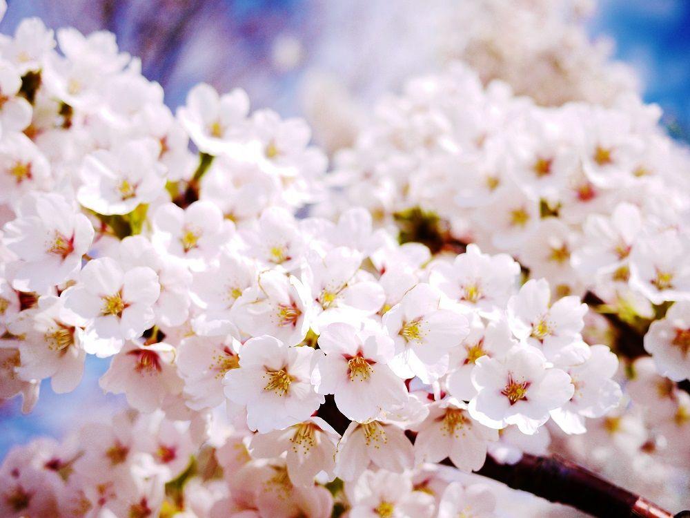 「農試公園」を彩る250本の桜