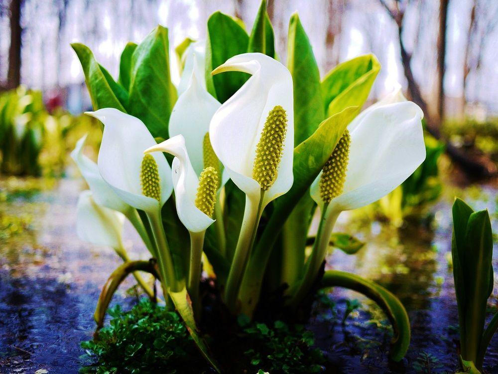 住宅街に広がる自然の宝庫!水芭蕉咲く春の札幌市「星置緑地」