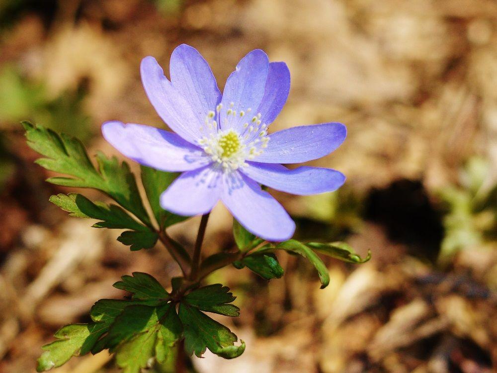 春の妖精「キクザキイチゲ」は、珍しい紫色の花にも出会える!