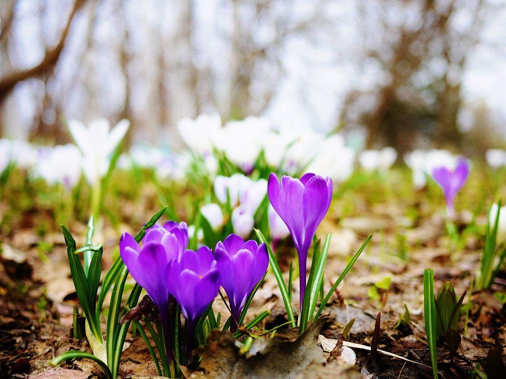 ポプラ並木の隣「花木園」の早春はクロッカスのお花畑