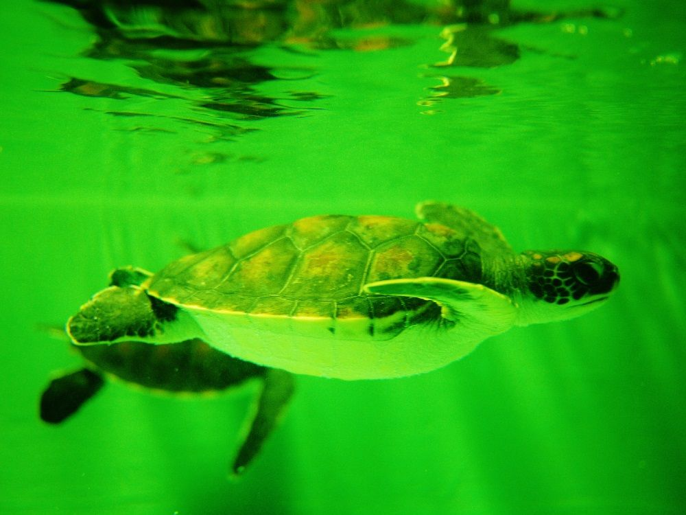 かわいいウミガメと共に自然を学ぼう「久米島ウミガメ館」