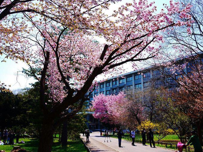 一番オススメの「北海道大学」キャンパス桜スポットは工学部前!