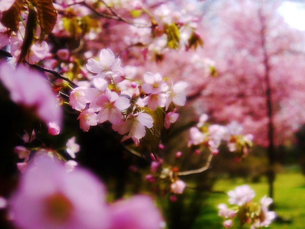 サクラサク春の「北海道大学」観光は滞在予定時間を少し長めに取ろう!