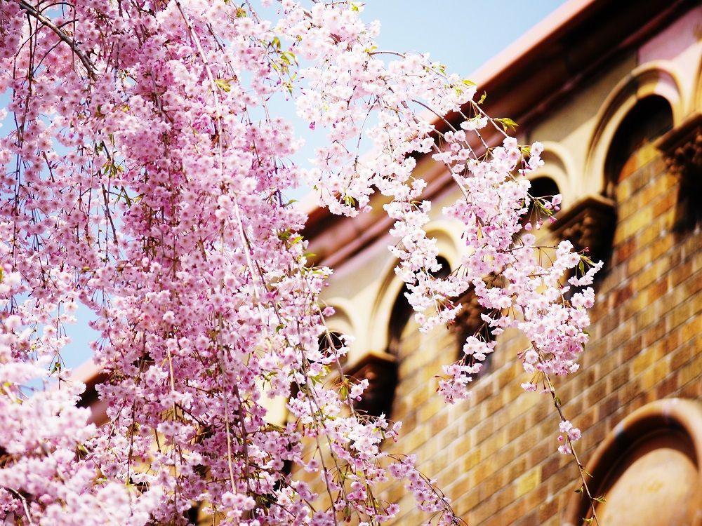見上げれは桜色が降り注ぐ!「北海道大学」の枝垂桜