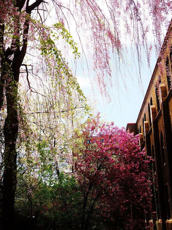 早咲きから遅咲きへ桜色の移り変わりも美しい「北海道大学」