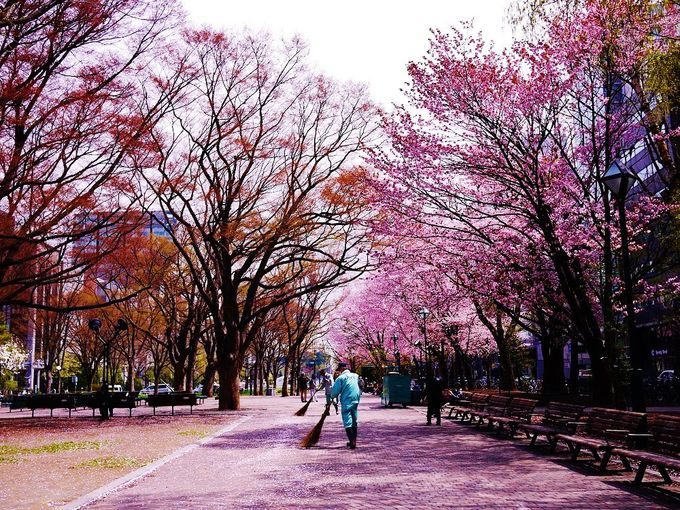 定番観光スポット&札幌市民憩いの場「大通公園」の春は桜が美しい
