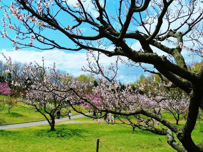 札幌市内の公園で梅を見るならココ!美しき「平岡公園」の梅林