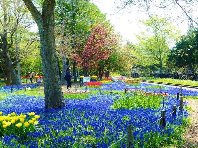 春は「ムスカリの道」が見事!1年中花が咲く「百合が原公園」