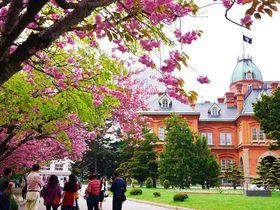 桜の見頃は2回!北海道庁旧本庁舎(赤れんが庁舎)でお花見