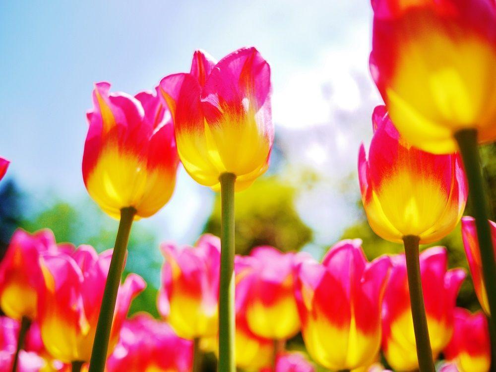 色鮮やかなチューリップも美しい春の豊平公園!