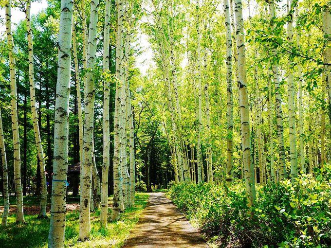春の豊平公園散策時には絶対訪れたい!新緑美しい白樺並木