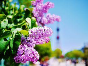 花とワイン!大通公園「さっぽろライラックまつり」へ行こう