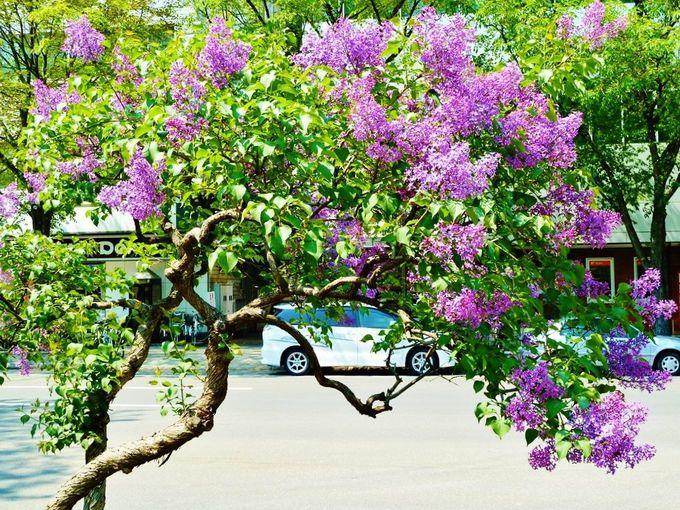 大通公園で観賞!札幌の木「ライラック」