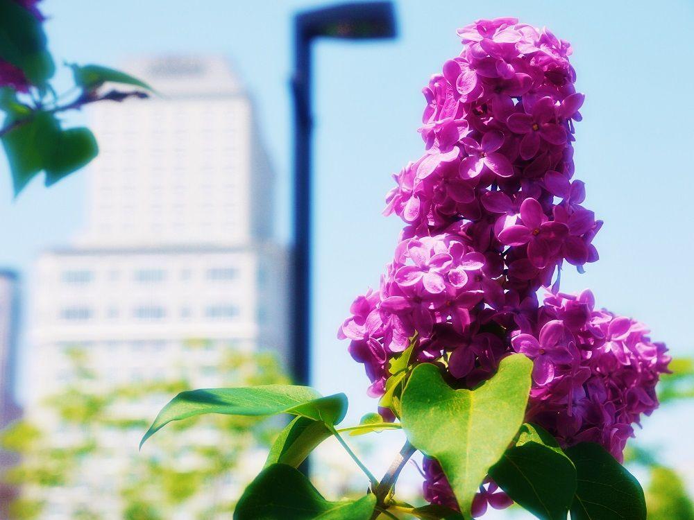 「創成川公園」から眺める街の景色に溶け込むライラック