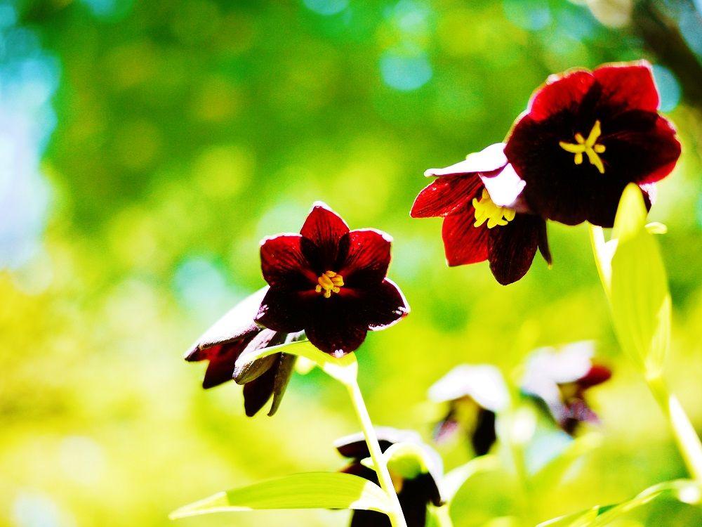 北海道大学キャンパス「クロユリ(黒百合)群生地」は神秘の花畑