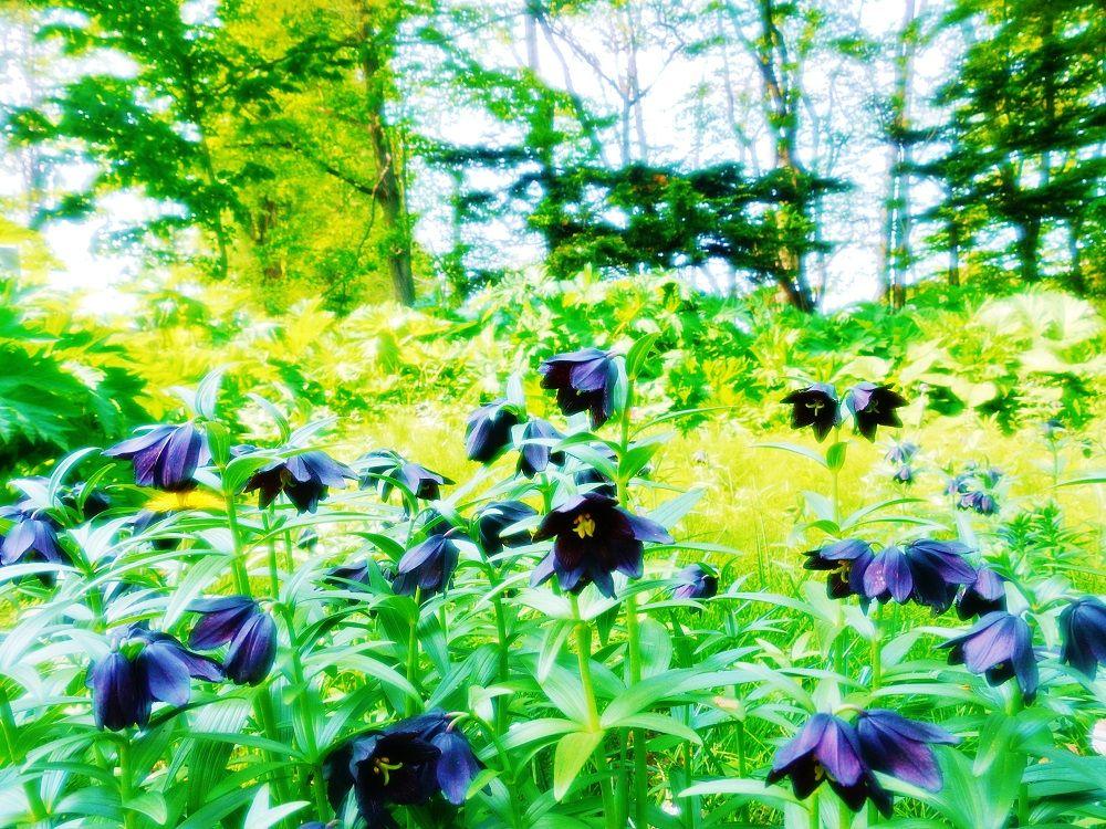 俯き加減に咲くクロユリは恋の花?呪いの花?