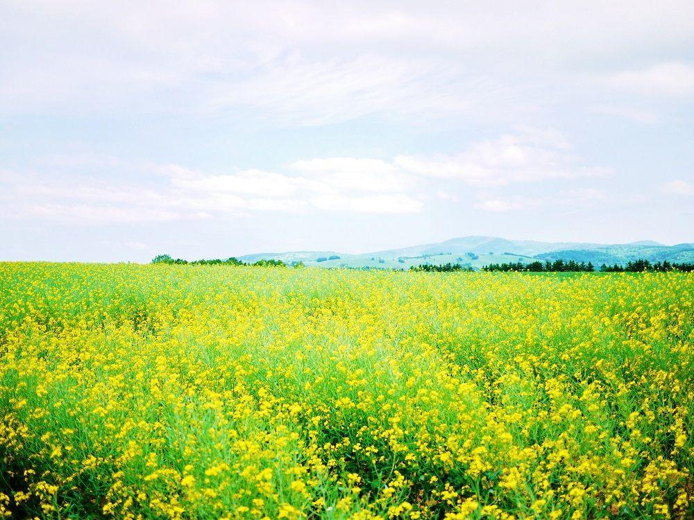 絶景の黄色い絨毯!滝川市「江部乙(えべおつ)丘陵地」へ行こう!
