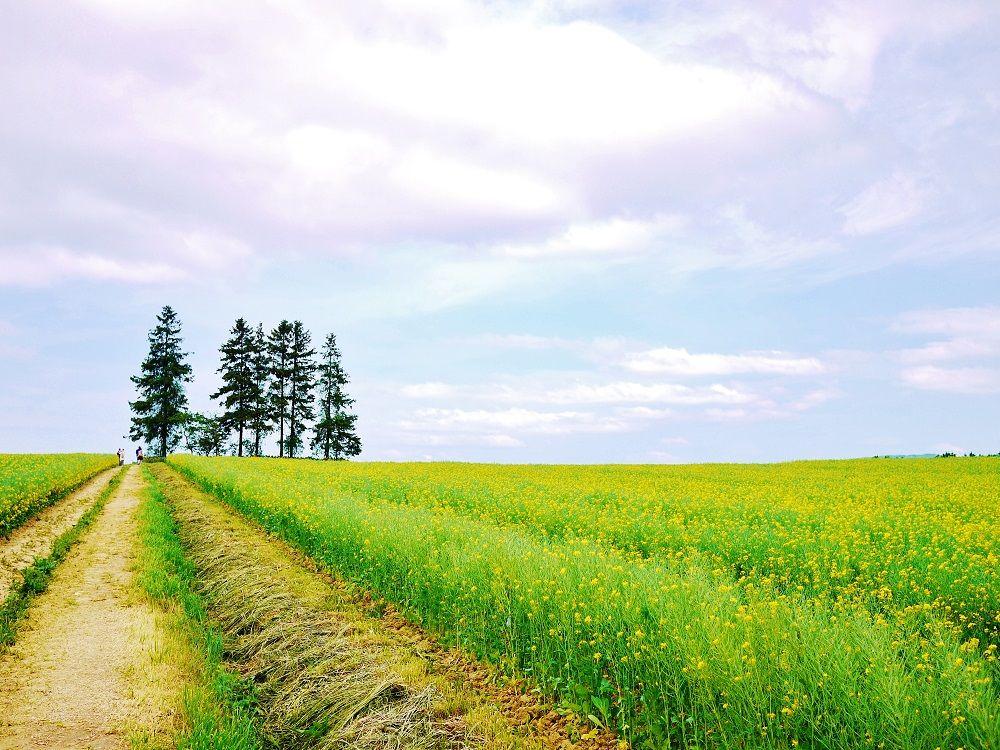 菜の花に包まれながら歩く美しい黄色い路