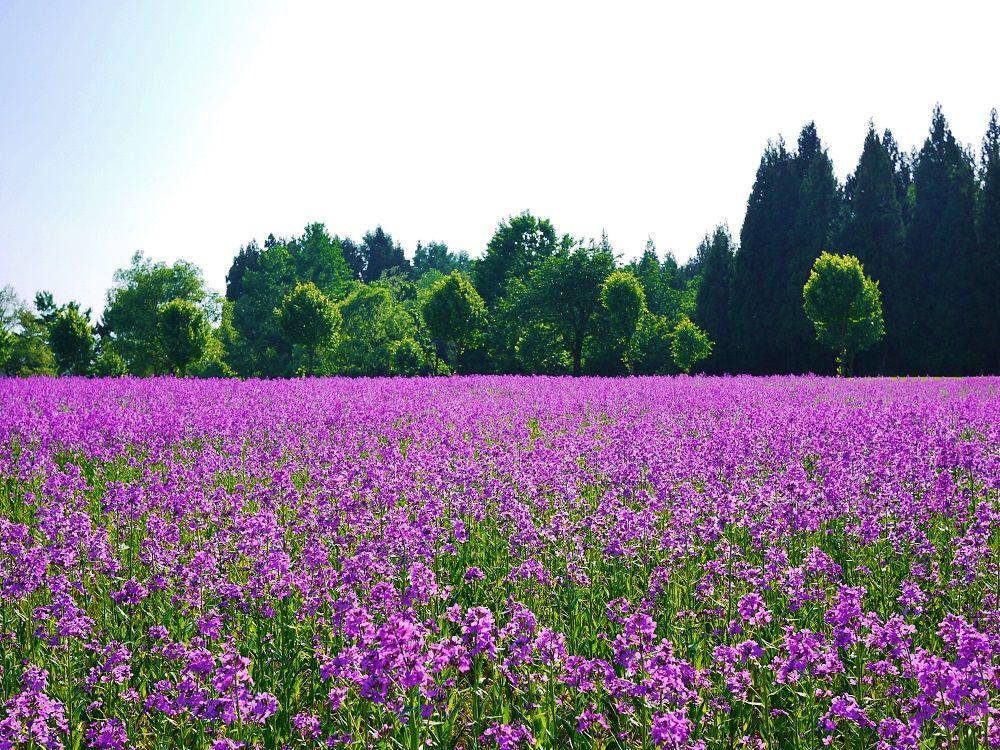 スイートロケットが咲くのは当間高原リゾート・ベルナティオ「花だいら」