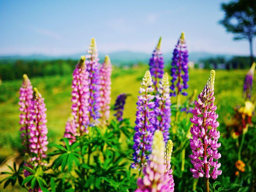 スイートロケットの他にも当間高原を彩る花々に出会えます