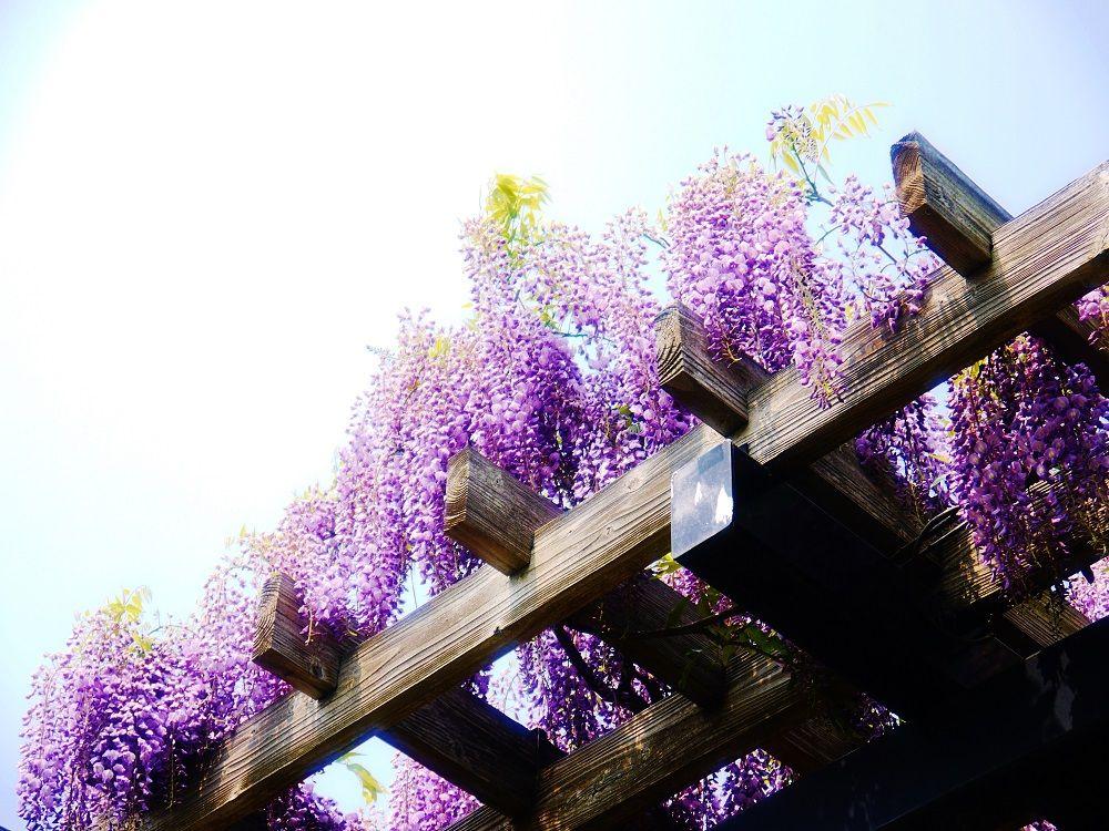 藤とポプラ並木の美しき風景!札幌市手稲「前田森林公園」