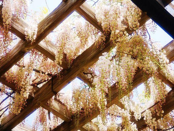 「前田森林公園」では白花の藤も咲きます