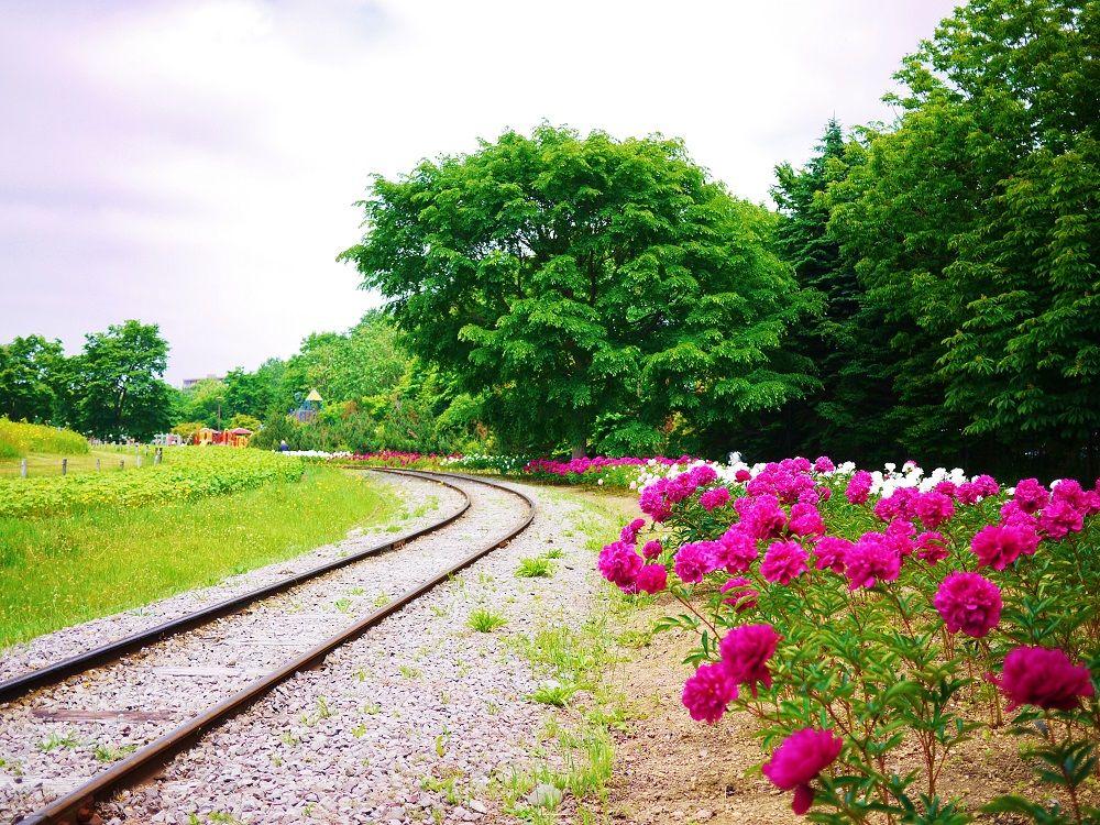 「百合が原公園」リリートレインの線路沿い広がる芍薬のお花畑