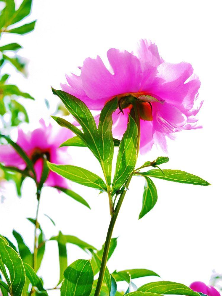 「百合が原公園」の初夏を彩る芍薬