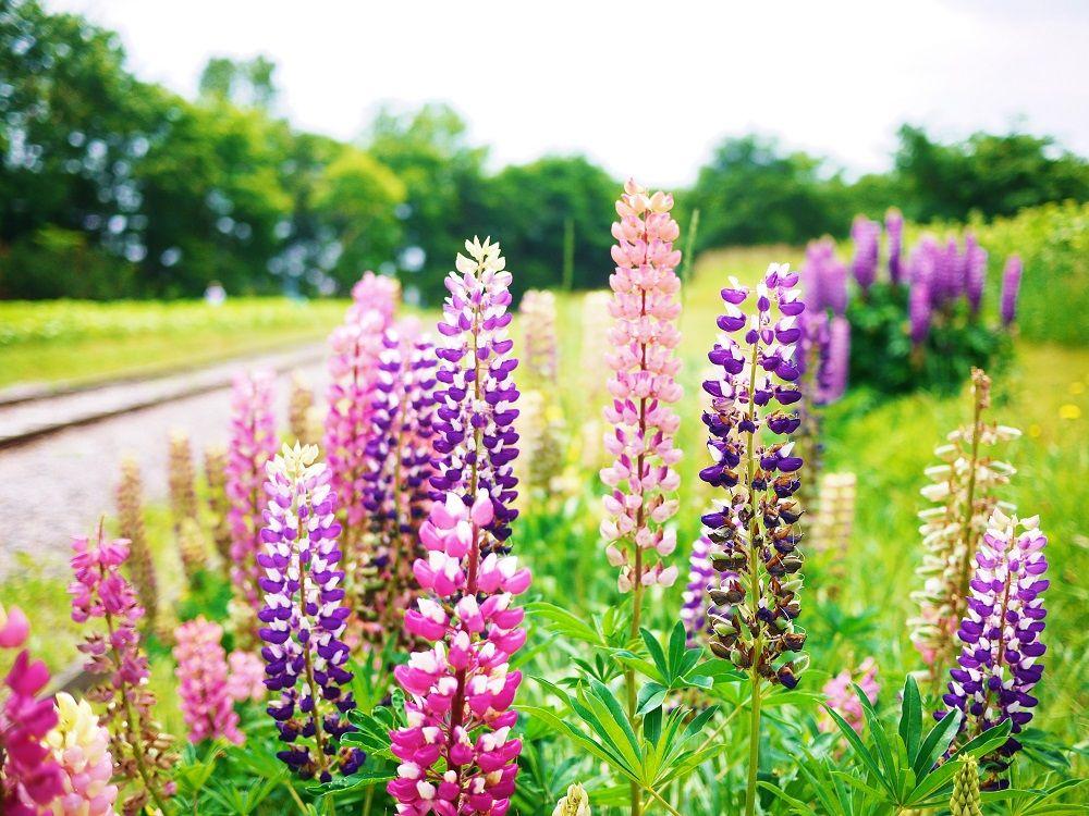 「百合が原公園」リリートレイン沿線ではルピナスの花々も美しい